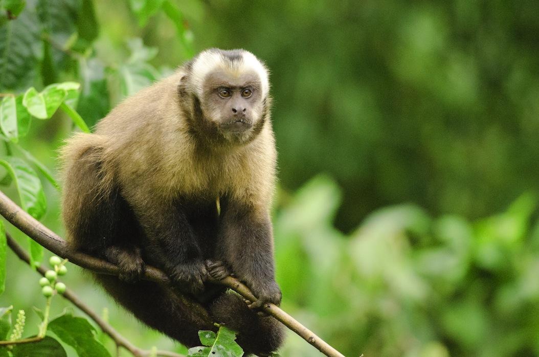 monkey at crees manu reserve