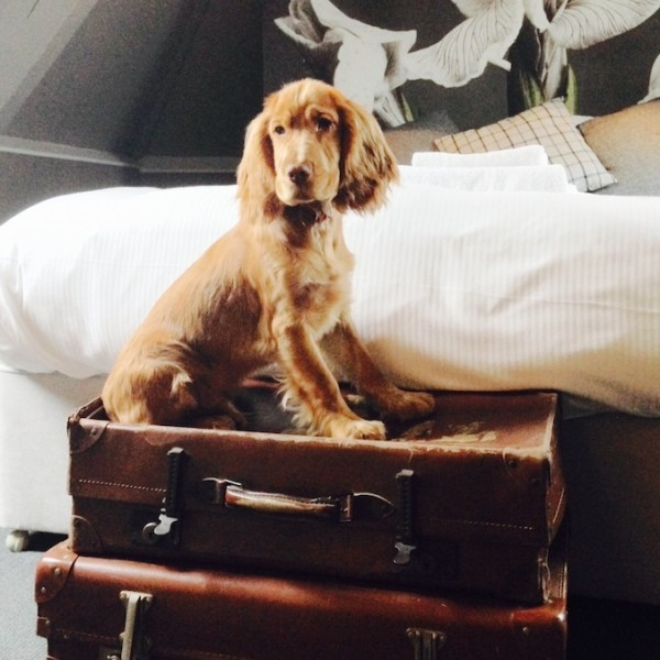 barney dog siting on suitcases at end of bed